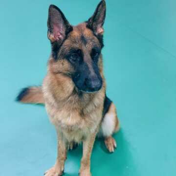 Dimond (male) German Shepherd