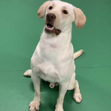 Lucky (male) Labrador Retriever