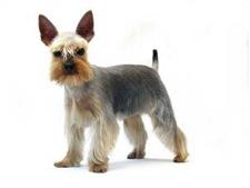Gr7-91A-Terrier-Yorkie-pet-clip-schnauzer2