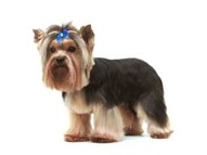 Gr7-92-Terrier-Yorkie-pet-clip-layered