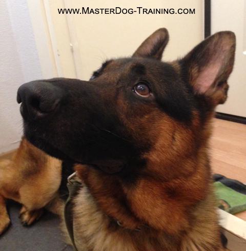 agressive dog training with Master Dog