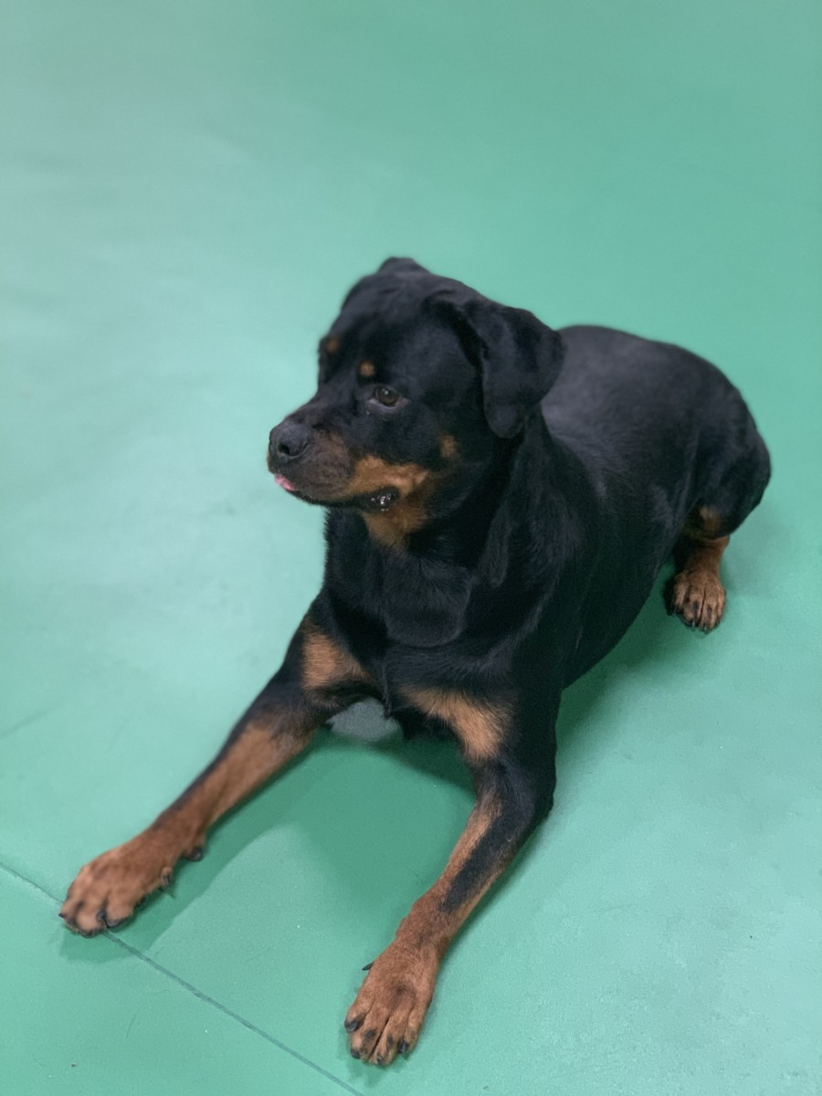 Trained Dogs For Sale Royal Dog Academy