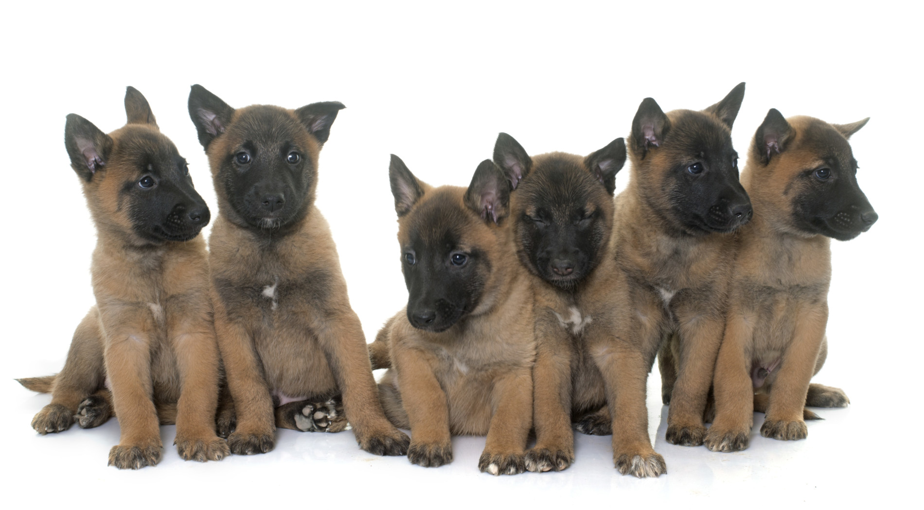 Belgian Malinois puppies - Royal Dog Academy